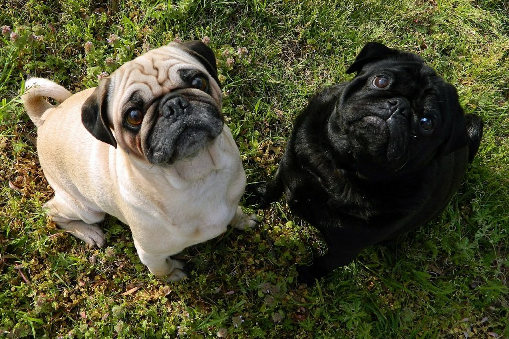 Pugs by South African Dog Breeders