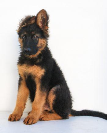 Buy a GSD dog in Nigeria