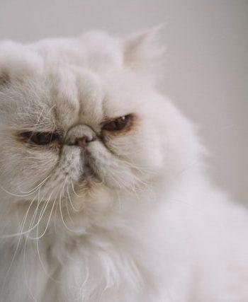 buy Persian kitten online