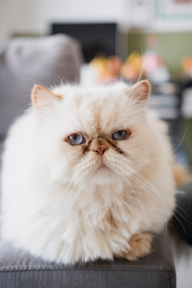 buy Persian cat online