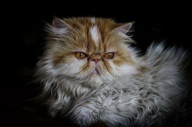 Persian cat for sale online in Nigeria