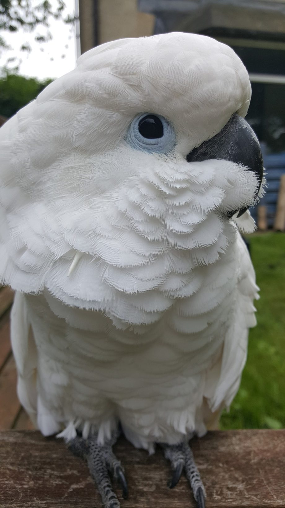 cockatoo-4708576_1920