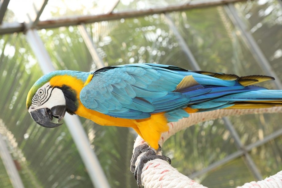 blue-and-gold-macaw nigeria