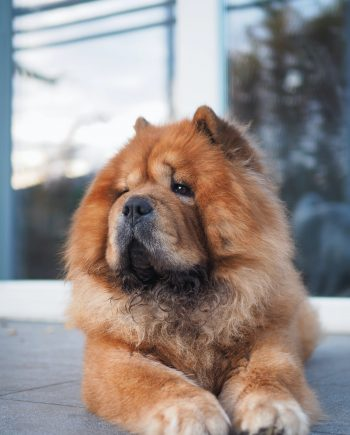 Buy a Chow chow in Nigeria