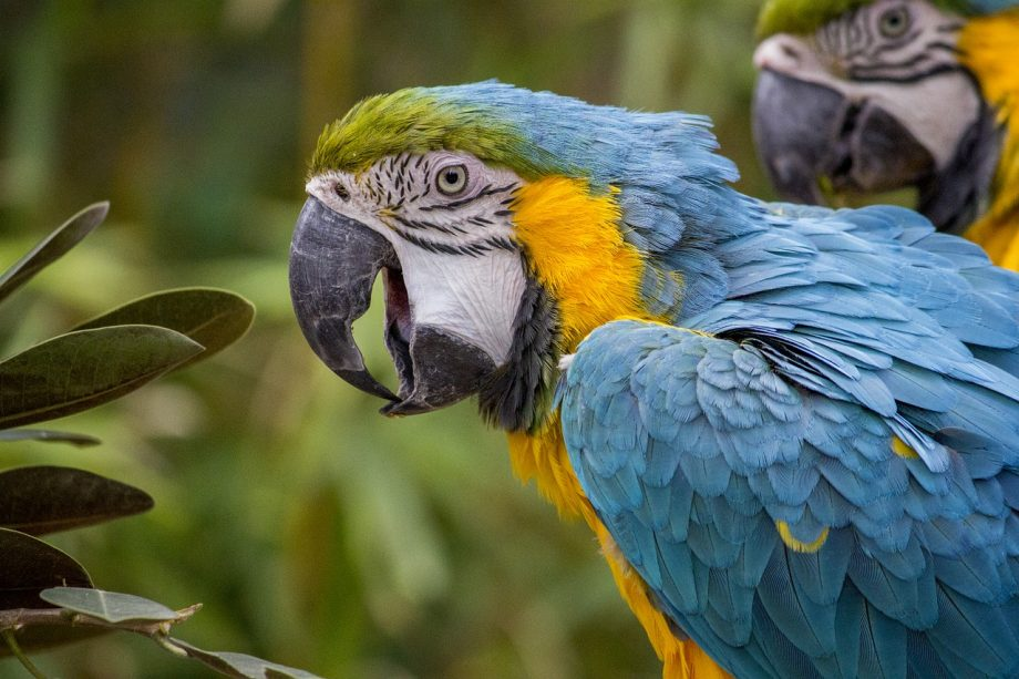 Macaws for sale in Nigeria
