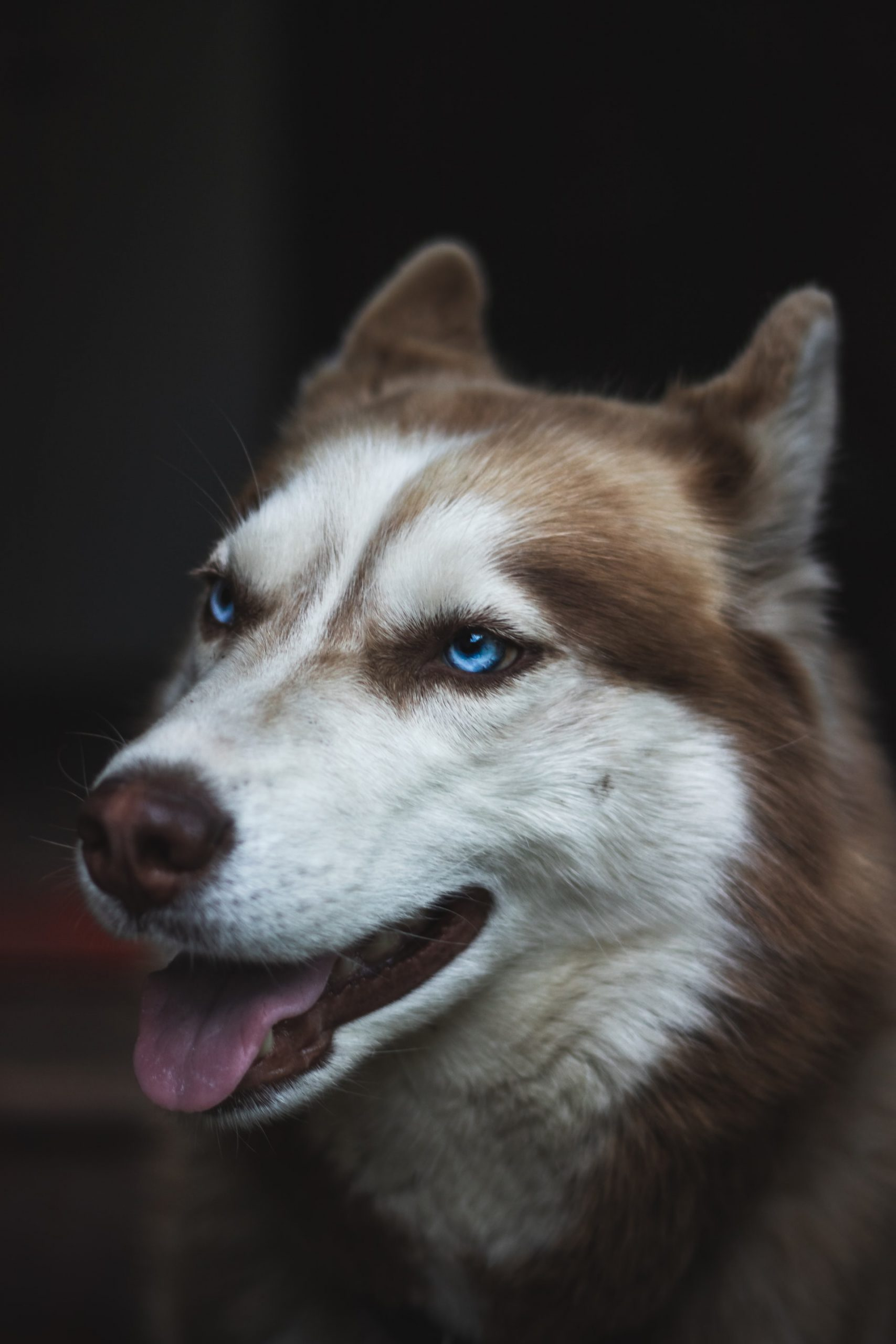 husky puppies for sale in nigeria