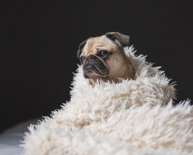 Caring for Pugs in Nigeria