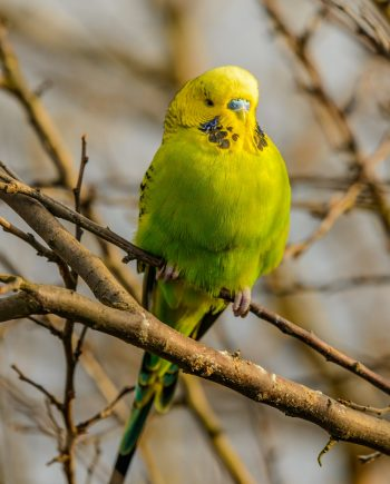 Budgie for sale in Nigeria