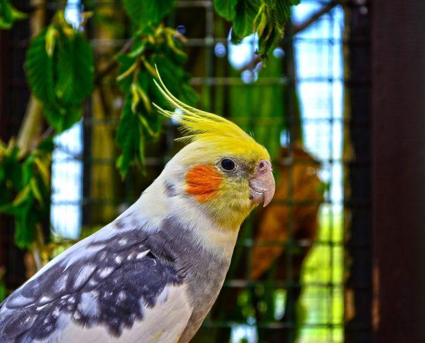Cockatiel parrots in Nigeria
