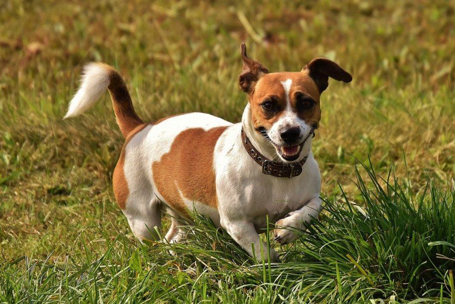 Jack Russell Terrier in Nigeria