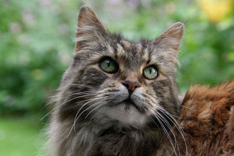 Maine Coon for sale in Nigeria