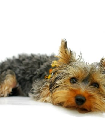 Yorkshire Terrier for sale in Nigeria