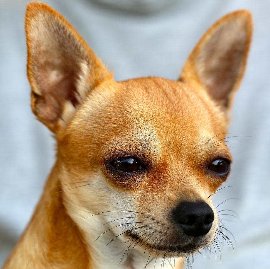 Chihuahua_Nigeria