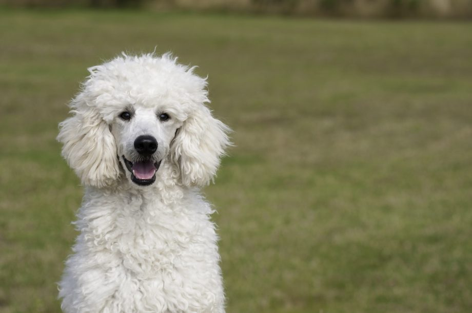 Poodle for sale in Nigeria