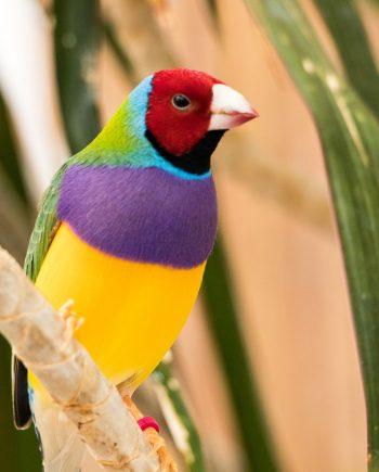 Finches in Nigeria